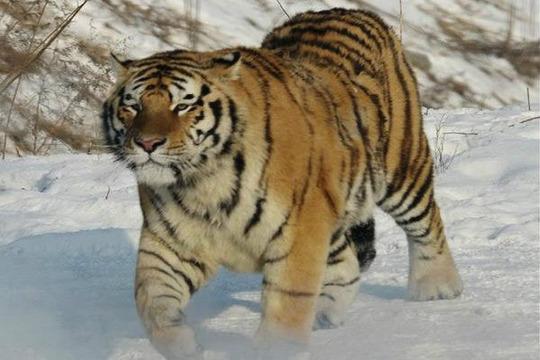与虎为伴剧照